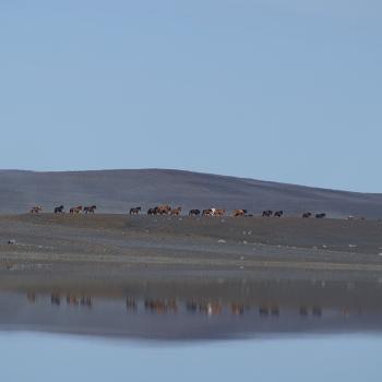 Icelandic horse podcast